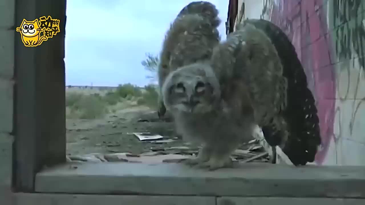 大型猫头鹰捕捉老鼠,镜头拍下全过程