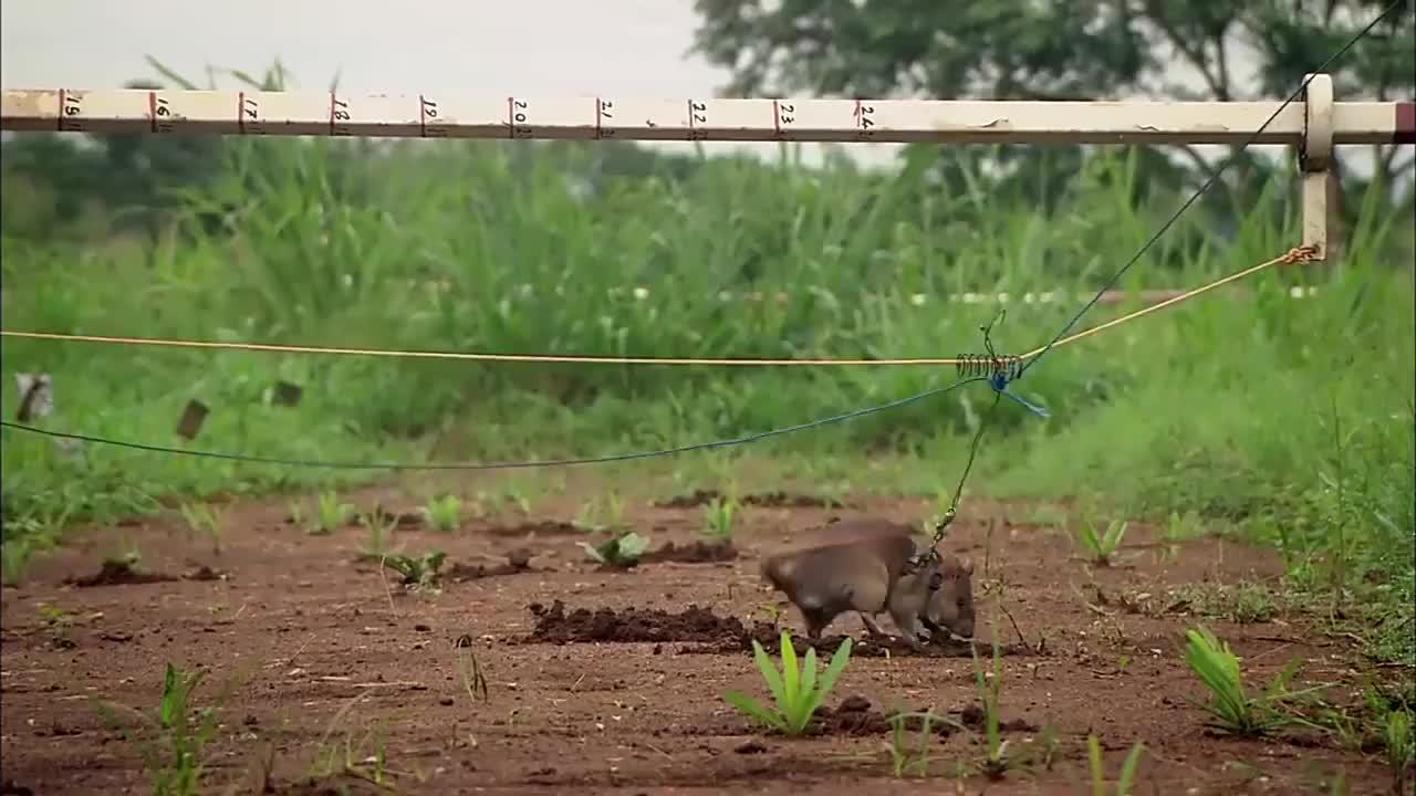 在非洲是扫雷英雄,每年拯救上千条生命,体长可以达到91厘米