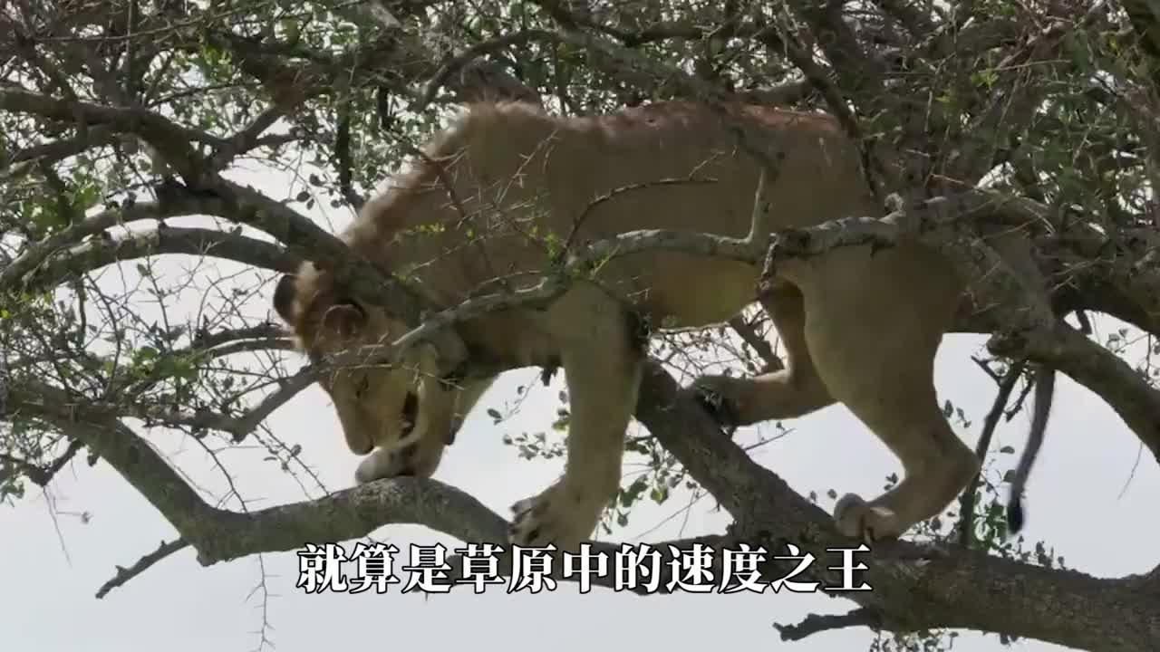 """狮子为了吃肉,没想到牙齿被卡住了,竟然成为了""""空中飞人"""""""