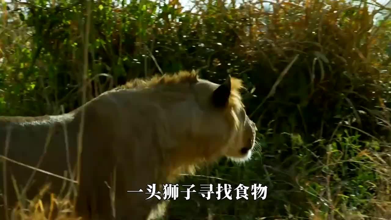 狮子突然想吃大象的肉,一口咬住大象脸部,怎料大象发飙了!