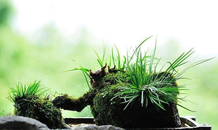 """菖蒲作为""""花草四雅""""之一,叶片翠绿有光泽,彰显品味的好选择"""