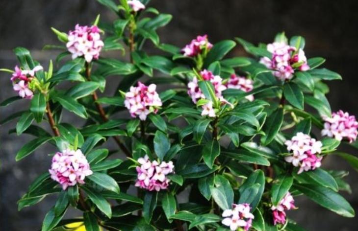 喜欢有香味的花,5种选择,家里只需养一盆,满屋飘香一点不刺鼻