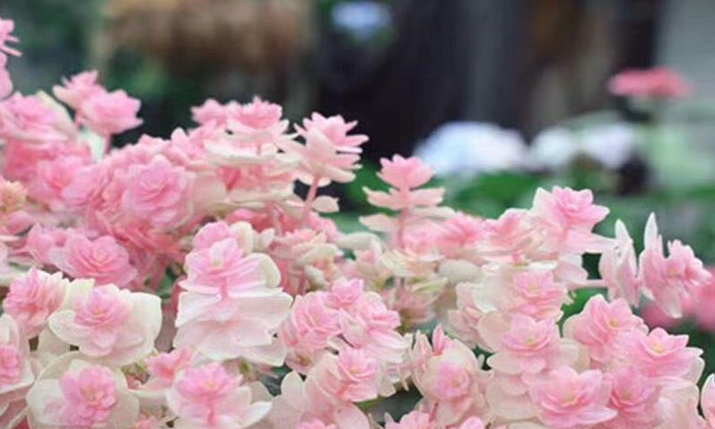 绣球花颜色随心调,酸蓝碱红,土壤酸碱度很重要!