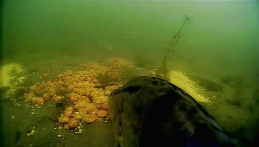 下集更新长视频鳜鱼进窝睡着了,哈哈哈