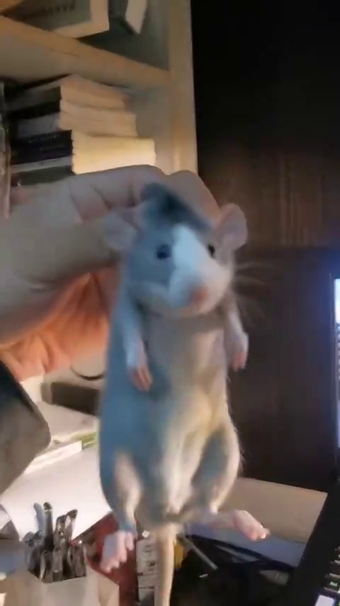 小鼠也有烦恼,但小鼠不会发朋友圈