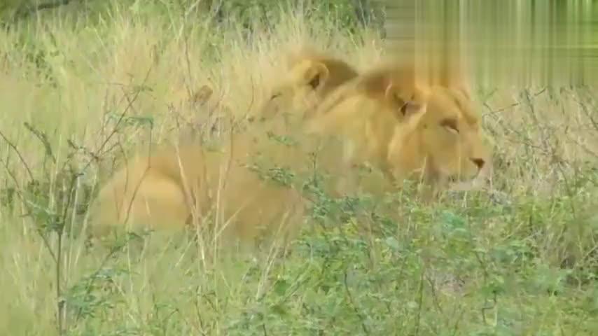 战胜的雄狮得到母狮的好感和交配权![高清版]