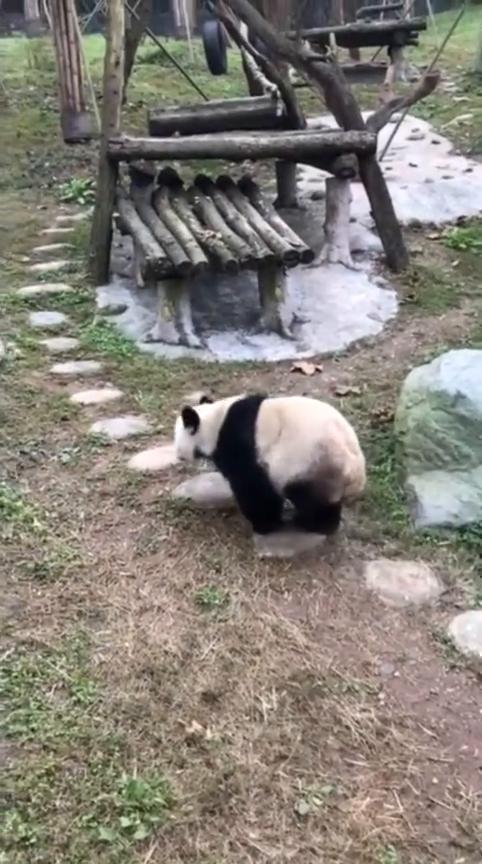 全球唯一截肢并存活的大熊猫
