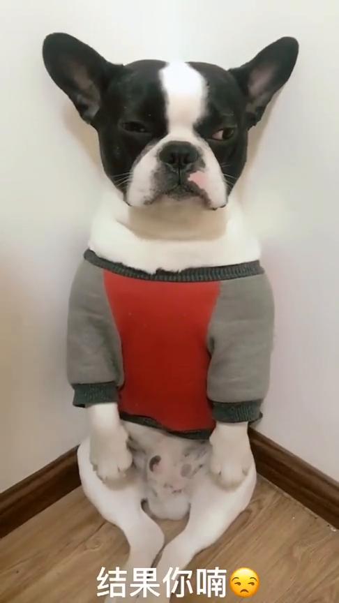主人带狗子出去玩竟把人丝袜给咬烂了,眼前主人这段教导,真逗!