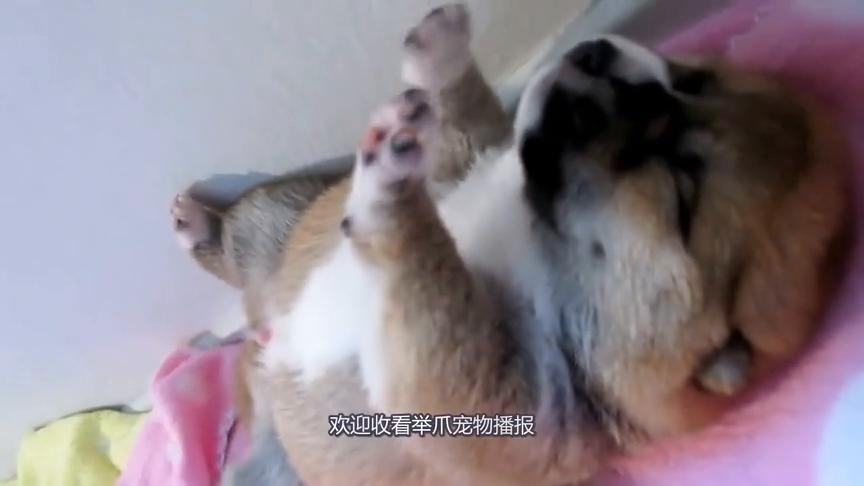 狗狗吃食物的样子,犹如一个虔诚的什叶派教徒,真让人意外