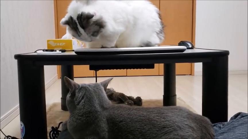 两只猫咪突然闹脾气,白猫越想越气直接下手打英短蓝猫脑袋