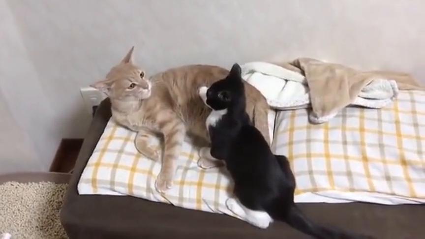 两只相亲相爱的猫咪,动不动就亲一亲抱一抱,这么甜蜜,热恋啊!