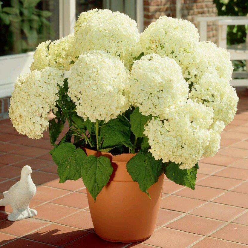 此款绣球花超耐寒,东北也能露养,花型巨大,花期长,盆栽也可以