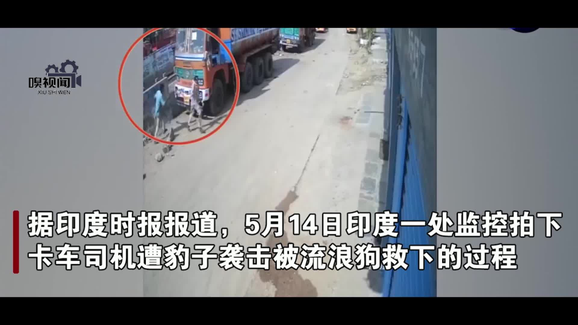 惊险!印度卡车司机遭豹子袭击,被流浪狗救下