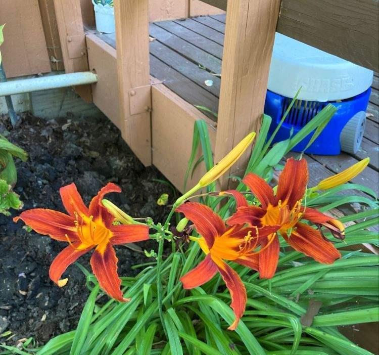 养好萱草的6个要点,早看早开花,满园萱草送妈妈!