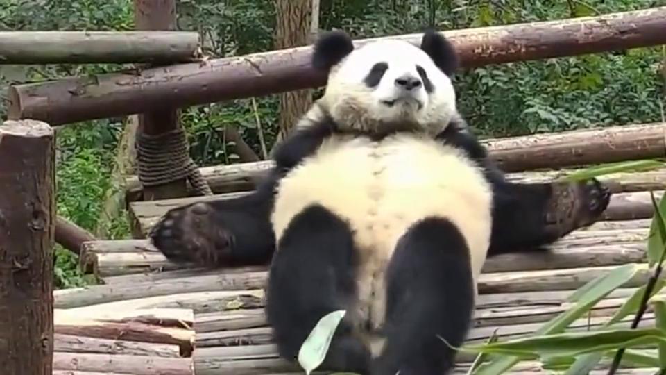 大熊猫:整个熊一定要成大字摊平,谁躺谁知道舒服