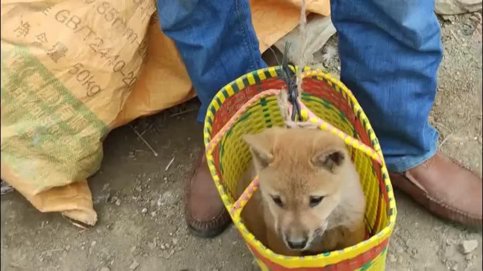 篮子里小狗等待自己的主人,它是最难卖掉的一窝里面