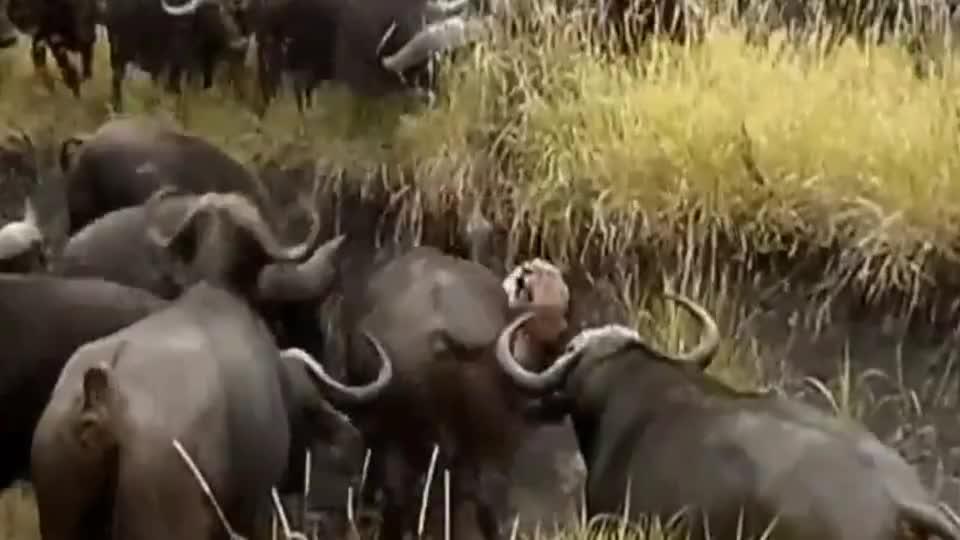 狮子猎杀小野牛,结果被野牛群疯狂复仇,狮子被活活折磨致死!