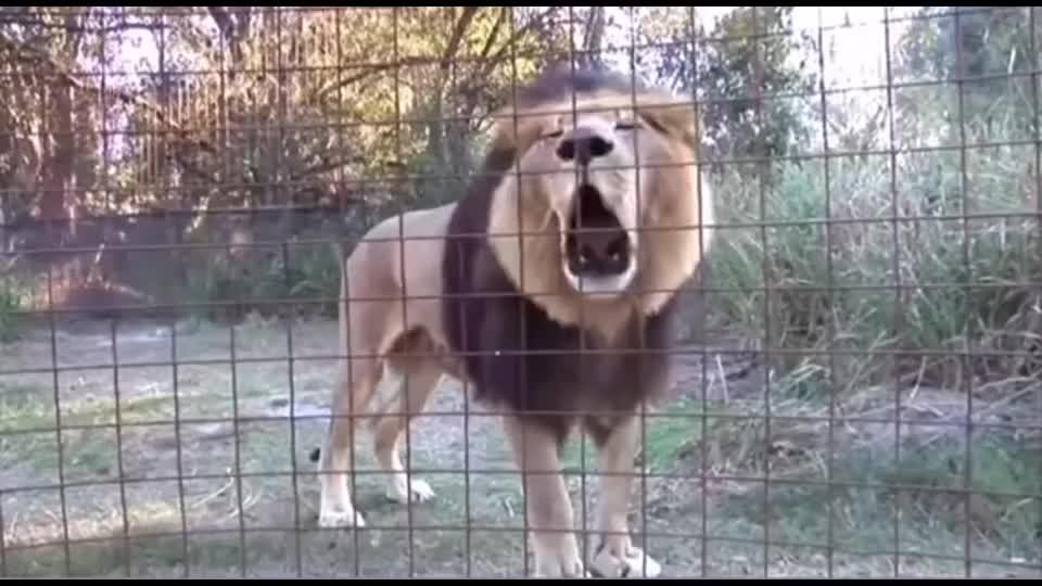 老虎叫,叫虎啸,狮子叫,叫狮吼!
