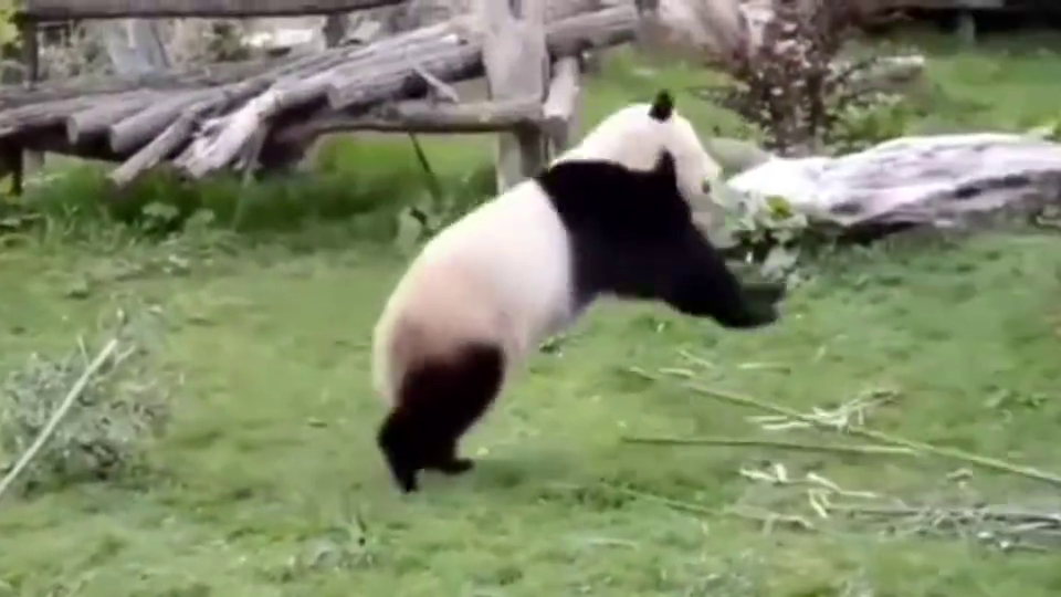 这才是真正的功夫熊猫,中国真功夫,感觉都已经修炼成精了