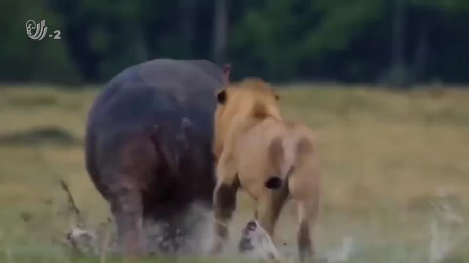 河马年轻气盛,竟闯入狮子的领地,最终被狮群分食了