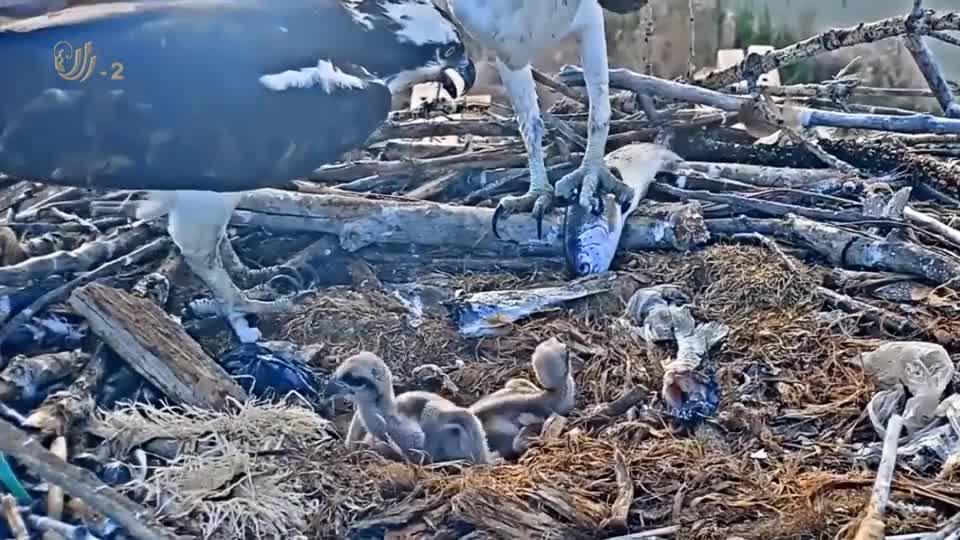 鹰妈妈捕鱼喂食幼崽,将鱼啄开后,一口一口的喂给幼崽
