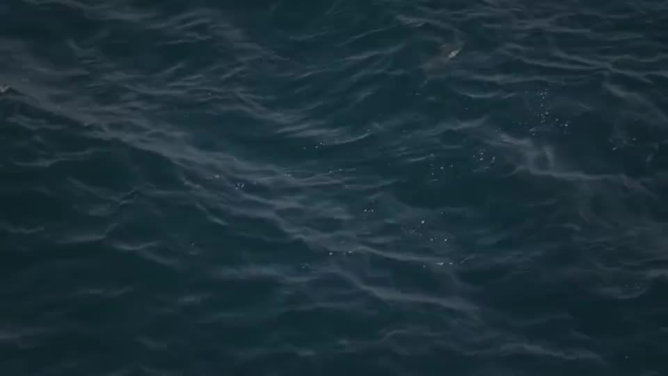 当海豹遇到鲨鱼,竟将鲨鱼直接撕碎,镜头拍下难得一幕