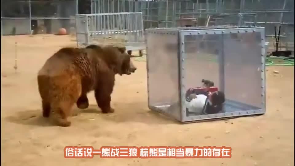 落单棕熊遇见3头狼,滑稽的事情发生,镜头记录搞笑全程!