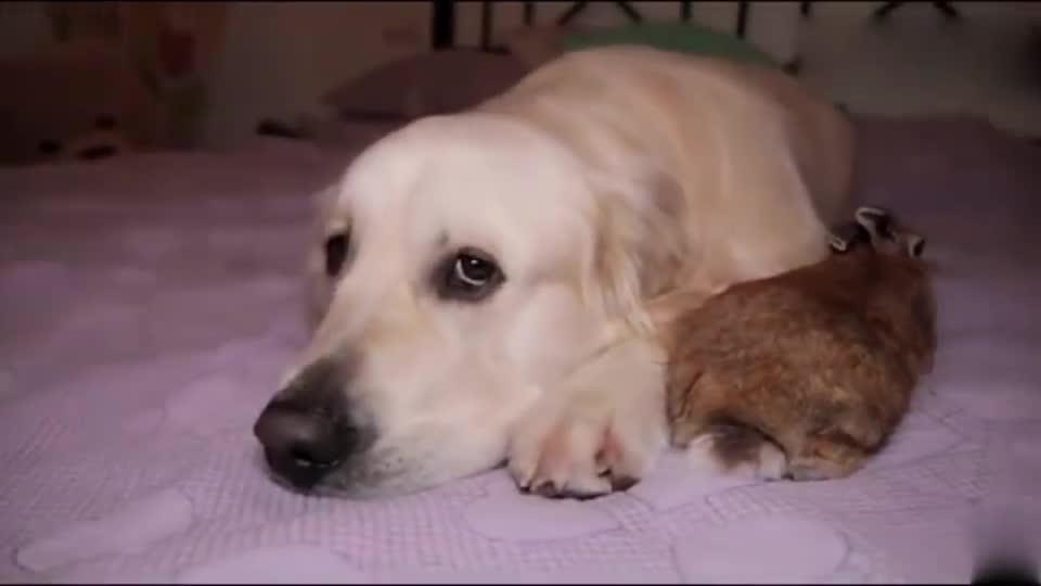 超喜欢金毛的兔子,总是黏着狗子,太甜腻了