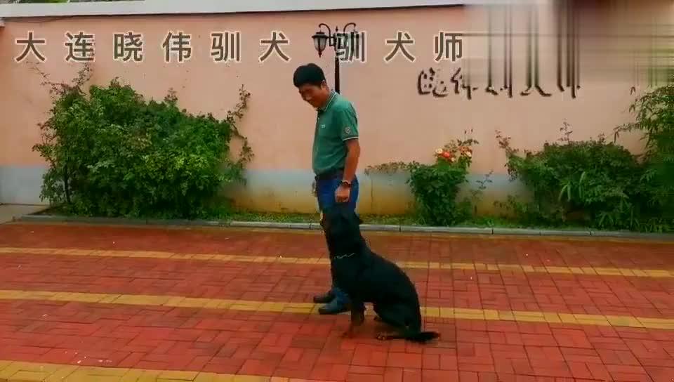 狂躁的罗威纳犬作为宠物犬应该是这样遛放的