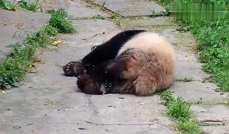 熊猫宝宝躺在地上打喷嚏,结果停不下来了,声音好萌