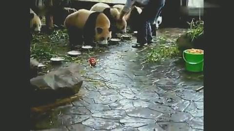 开饭了,大熊猫一起吃饭,好可爱!