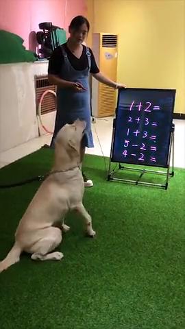 学习算术的狗狗正在练习,5以内的加减法已经难不倒它宠物成精啦