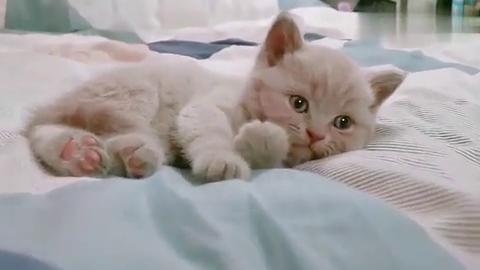 小奶猫乖乖躺床上,这伸懒腰的样子真可爱,网友:连床一起偷走啦