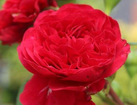 """新手养花,不如养盆花中精品""""红色达芬奇"""",颜色明丽,优美梦幻"""