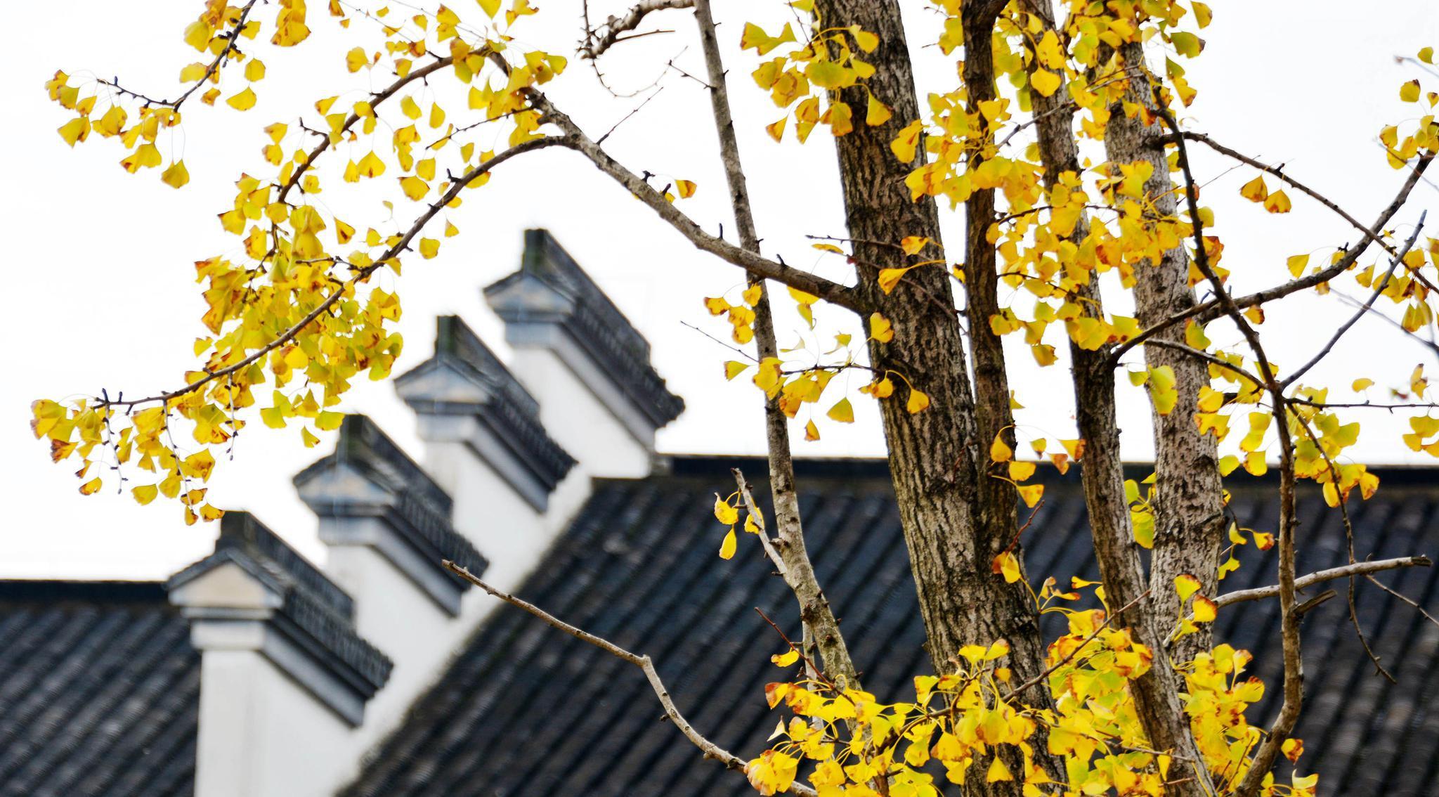 无锡的初冬,还是深秋的景色。这里是锡山区鹅湖镇鹅湖玫瑰文化园