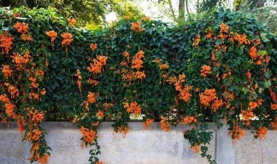 9种爬藤能力特别强的开花植物,花期花朵挂满整面墙