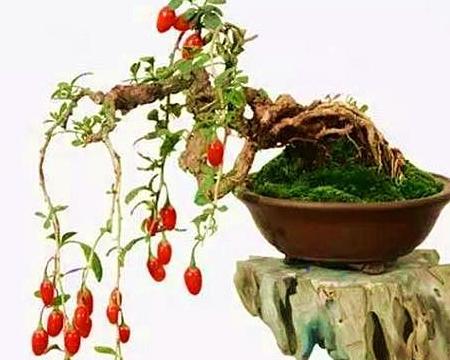 """枸杞盆景夏季养护,做好这三点,安全度夏,秋季挂满""""小红果"""""""
