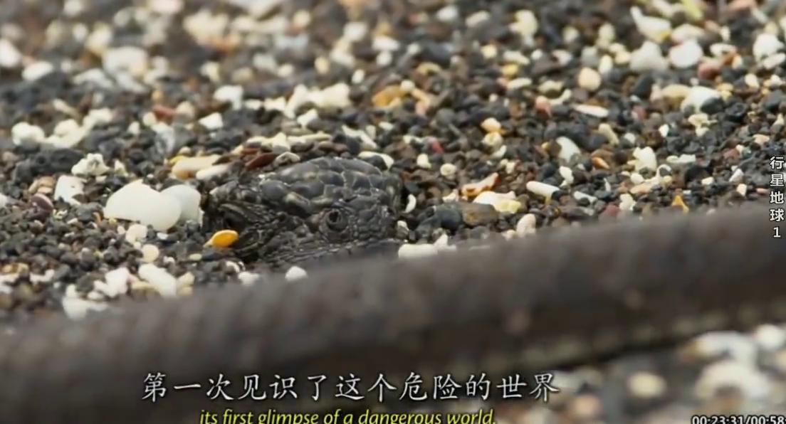岛上毒蛇捕猎蜥蜴,蜥蜴展现新的求生技能