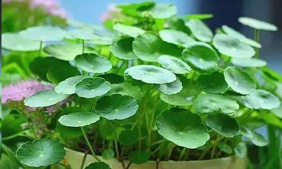 养铜钱草只需学会一招,铜钱草一年四季翠绿可爱