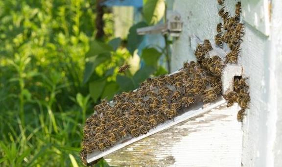 """养蜂人帮助蜂群""""入夏"""",给蜂群""""防暑降温""""的管理方法!"""