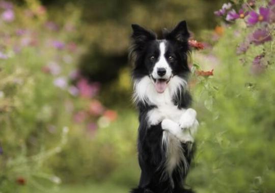边境牧羊犬的为什么会胆小?你必须知道的小秘密