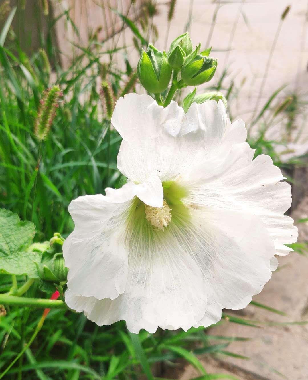 木槿花,朝开暮落,每一次凋谢都是为了更好的开放