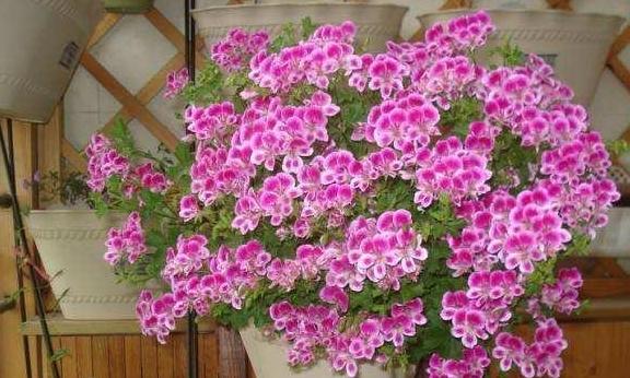 夏季天竺葵最难熬,做好这几步,轻松度夏,能不间断开花