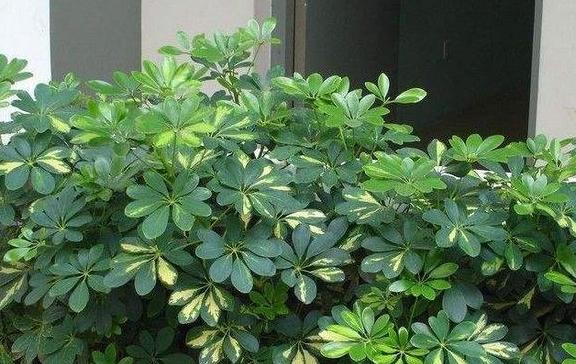 养鸭掌木做好这4点,叶子不黄绿油油,摆在家里四季常青真好看