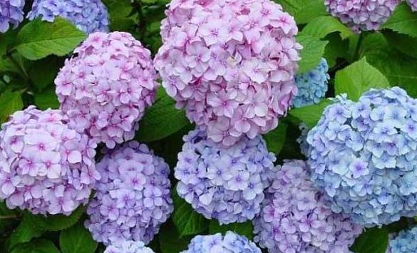 资深养花者告诉你绣球花得这样养,成活率高。