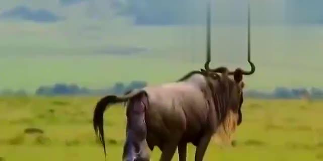 动物世界:猎豹秒捕鳄鱼,猎豹大战牛羚结局被牛羚一脚踢飞!