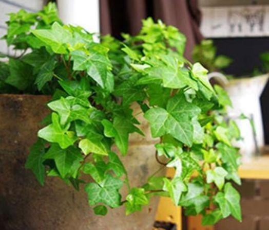 家里养这几款植物,专吸甲醛、二手烟,空气清新,养两盆赚大了!