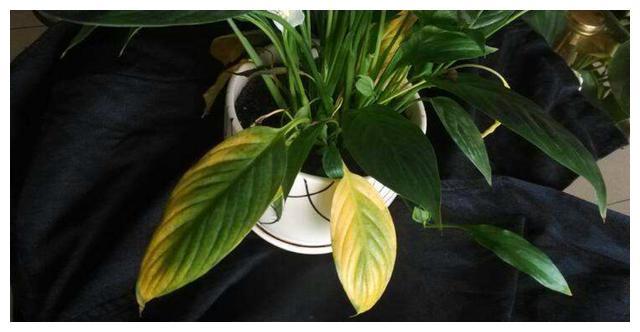 白掌黄叶黑叶爱萎蔫,改掉这两个养殖习惯,根系白嫩叶青翠