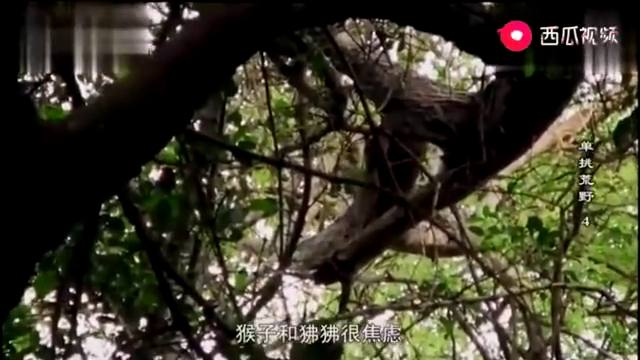 德爷看到猴子和狒狒很焦虑,德爷它们判断得出有事要发生
