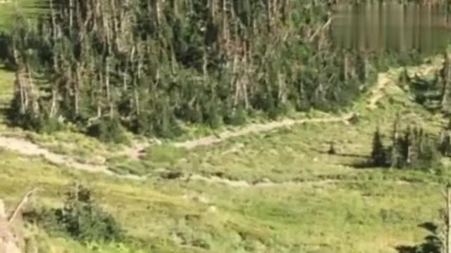650磅重的灰熊追逐冰川公园徒步旅行者拍摄者:别动别动!